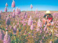 Perth Wildflowers 1